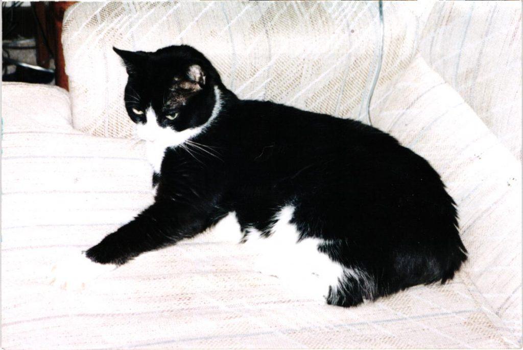 Spumoni the Cat age 8